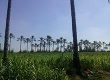 ارض زراعية خصبة ومثمرة للبيع من المالك بابو حمص - البحيرة