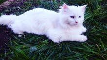 قط شيرازي تركش