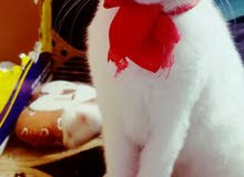 قطه جميله جدا للبيع اليفه لعوبه محبوبه