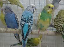 للبيع جمله طيور الحب منتجة