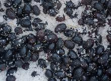 olive noir