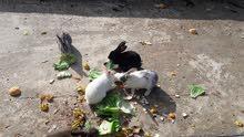 أرانب بلدي وفرنسي