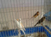 عصافير كنار