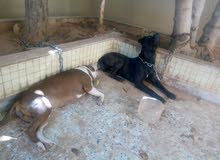 كلاب بيتبول وجرو جيرمن