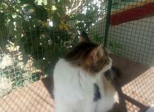 قطه شيرازية حامل للبيع