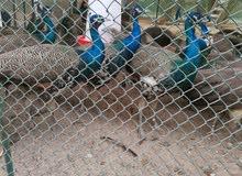 طاووس للبيع