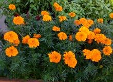 البستانى للزراعه ابو خالد 69955429
