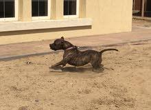 كلب بيتبول نثيه العمر سنتين ونص