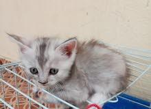 قطط لبيع 2 مع الام