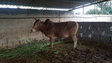 ثور عماني بدون تهجين للبيع مولود عندي في المزرعة