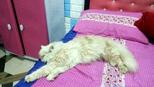 قطه اوربيه اليفه جدا وتحتوي على جواز وكامله اللقاحات والعمر تسع تشهر