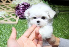 Adorable home trained maltese puppies ready