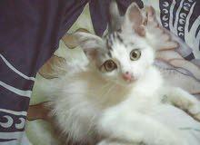 قطه للبيع شرازى علة رومي