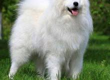 مطلوب كلب سامويد انثى عمر صغير