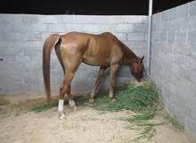 حصان مرثون خصي العمر 9سنوات اصابه قديمه في الرجال اليسار اموره طيبه وسليم
