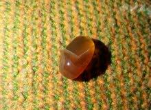 حجر الكهرومان النادر
