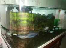 حوض اسماك الزينة مع 5 سمك