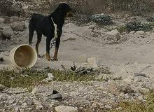 كلب هاسكي الموت للبيع  ذكر      كلب روت وايلر ذكر