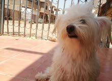 كلب لولي جيرفون