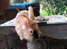دكر ارنب اسد العمر سنة