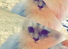 قطة شيرازية ا
