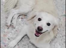كلب مفقود اقرو الوصف رجاءا