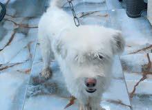 كلب تيرير ويا دفتر لقاح كلب لعوب عمرة سنة و9اشهر