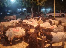 مزرعة اولاد دواد للحوم الأغنام بحلوان