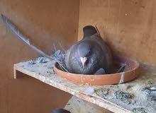 Dragoon Pigeon for sale