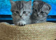 2 Scottish Fold Kittens - Rare Breed