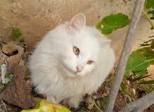 قطه شيرازي مكس شانشيلا لون ابيض كامل