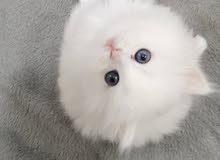 قطط بيور للبيع العمر شهرين