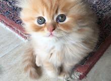 iran kitten