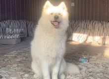 كلب سامويد للبيع