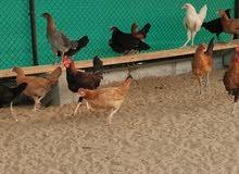 دجاج كويتي