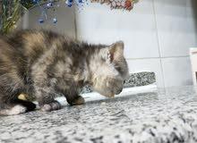 3 قطط ايناث سكوتش مكس شيرازي
