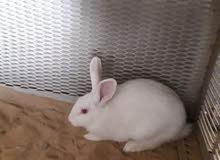 اذكر أرانب للبيع او افاري بي انتايه مالطيا