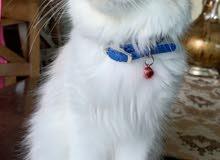 قطة هيمالايا أنثى للبيع Himalayan female cat