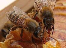 عسل السدر الخالص
