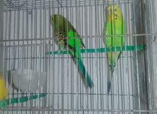 جوزين طيور حب للبيع ام نوارة القويسمة