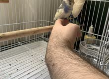 Female budgie for sale, beautiful color very playful, recently bought from Fifia pet shop.