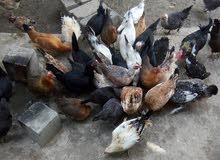 دجاج لبيع
