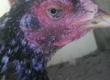 للبيع دجاجه ميواليه