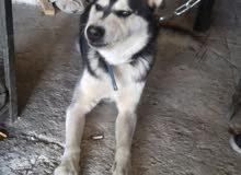 كلب هاسكي بيور كشره للبيع بسعر 100 دينار