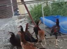 دجاج ميوالي