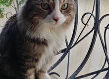 قط ذكر للتبني Male cat for adoption