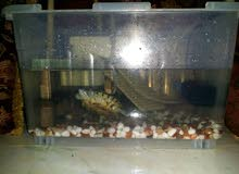 حوض سلاحف برمائية للبيع -  RES Turtle