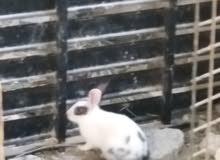أرانب عمانيات اصل الصحه ممتازه جداا النوع ذكور العدد 2