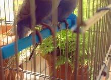 طيور حب بصحه ممتازة مع عِش للبيع