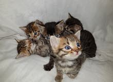 bangel kittens بنغال
